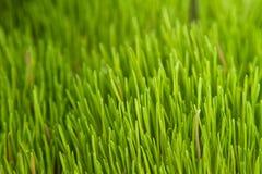 Hierba de la alfalfa Imágenes de archivo libres de regalías