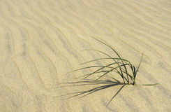 Hierba de la arena Fotos de archivo libres de regalías