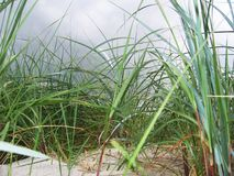 Hierba de la arenaria Foto de archivo