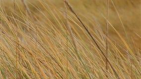 Hierba de la arenaria que sopla en el primer del viento almacen de metraje de vídeo