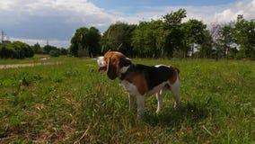 Hierba de la aspiración del perro del beagle en parque del verano almacen de video