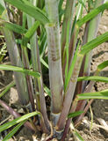Hierba de la caña de azúcar Foto de archivo