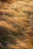 Hierba de la duna en el viento Imagen de archivo