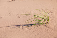 Hierba de la playa de la arenaria imagen de archivo libre de regalías