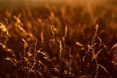 Hierba de la puesta del sol fotos de archivo libres de regalías