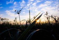 Hierba de la puesta del sol Fotos de archivo