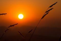 Hierba de la puesta del sol en campo de la puesta del sol Imagen de archivo
