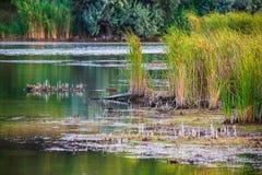 Hierba de la pureza de la naturaleza en el banco del lago Charca o lago salvaje de la naturaleza imagen de archivo libre de regalías