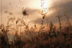 Hierba de la silueta antes de la puesta del sol Imagenes de archivo