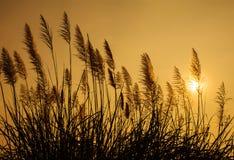 Hierba de la silueta en la puesta del sol Imagen de archivo libre de regalías