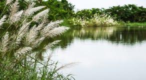 Hierba de las flores blancas en pantano Imagen de archivo libre de regalías