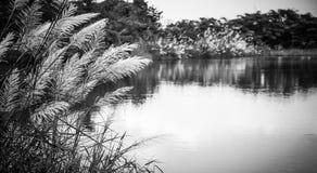 Hierba de las flores blancas en pantano Fotos de archivo