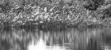 Hierba de las flores blancas en pantano Fotos de archivo libres de regalías