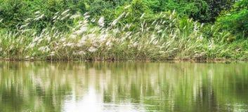 Hierba de las flores blancas en pantano Foto de archivo libre de regalías
