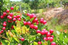 Hierba de las frutas de Karonda o de Carunda Imagenes de archivo