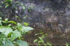 Hierba de limón en los ladrillos viejos de la pared en el templo Chiang Mai Thailan imagen de archivo