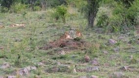 Hierba de Lion Cubs Resting On The cerca de los arbustos en sabana africana metrajes