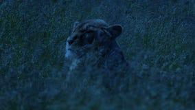 Hierba de Lion Turns Around In Swaying en la oscuridad metrajes