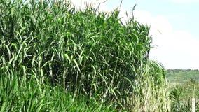 Hierba de Napier en plantas de la granja metrajes