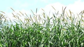 Hierba de Napier en plantas de la granja almacen de video