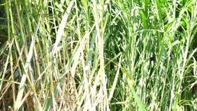 Hierba de Napier en plantas de la granja almacen de metraje de vídeo