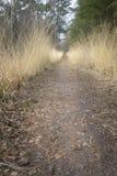 Hierba de oro que crece al lado de la manera de la trayectoria en bosque del pino Imagenes de archivo