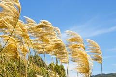 Hierba de pampa que sopla en el viento contra un cielo azul imagenes de archivo