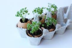 Hierba de Pascua que crece en cáscara de huevo en un fondo blanco foto de archivo libre de regalías