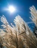 Hierba de plata japonesa contra luz del sol brillante Fotos de archivo