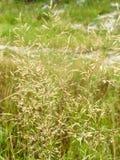 Hierba de prado de las espiguillas Imagenes de archivo