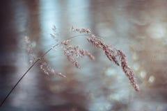 Hierba de prado hermosa, bluegrass, pratensis del Poa después de la lluvia en fondo borroso azul Cuchilla de la hierba en gotitas foto de archivo