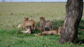 Hierba de Pride Wild Lions Lies On a descansar debajo de la sombra del árbol en calor almacen de video