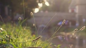 Hierba de Rye en la puesta del sol almacen de video