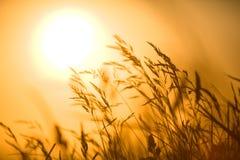 Hierba de Shaked delante de la puesta del sol Foto de archivo libre de regalías