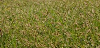 Hierba de Timothy que sopla en el viento Imagen de archivo