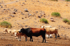 Hierba de vacas fotografía de archivo