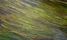 Hierba del agua Fotografía de archivo