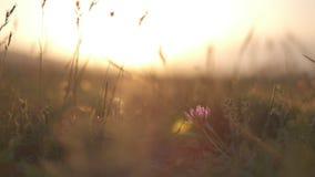 Hierba del campo en el primer de la puesta del sol metrajes