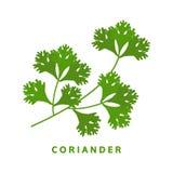 Hierba del coriandro, perejil chino, ejemplo del vector de la comida Fotos de archivo