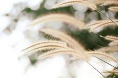 Hierba del Gramineae y luz del bokeh Foto de archivo libre de regalías