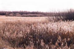 Hierba del pantano Fotografía de archivo libre de regalías