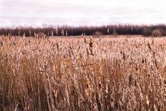 Hierba del pantano Fotos de archivo