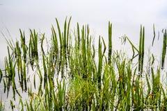 Hierba del pantano Fotos de archivo libres de regalías