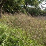 Hierba del pantano que sopla Foto de archivo