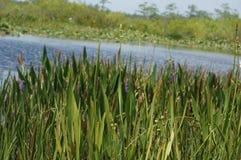 Hierba del pantano y el pantano Imágenes de archivo libres de regalías