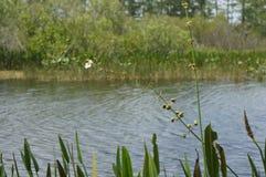Hierba del pantano y el pantano Fotos de archivo libres de regalías
