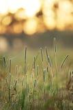Hierba del Phleum en la salida del sol fotografía de archivo libre de regalías