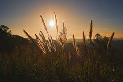 Hierba del primer en la puesta del sol Foto de archivo