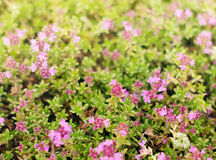 Hierba del primer floreciente del tomillo Fondo de la flor Fotos de archivo libres de regalías
