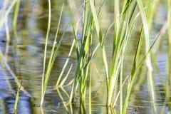 Hierba del río foto de archivo libre de regalías